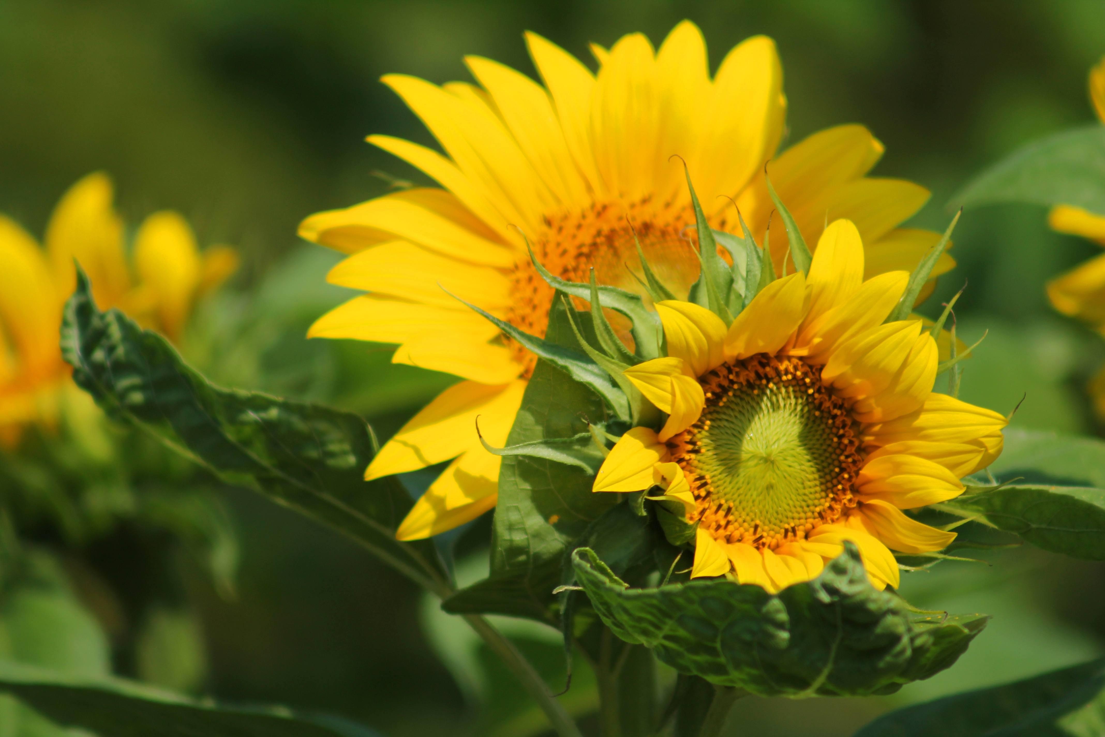 Akupunktmassage Sommerangebot - Im Einklang sein - sonnenblume